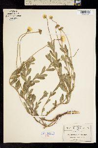Image of Astranthium xylopodum