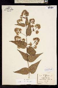 Koanophyllon palmeri image