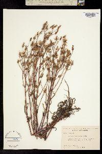 Image of Lactuca graminifolia