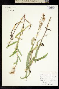 Image of Lactuca oblongifolia