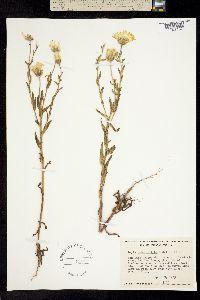 Image of Layia heterotricha