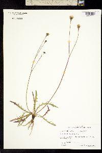Image of Leontodon autumnalis