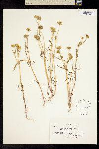 Image of Lasthenia glabrata