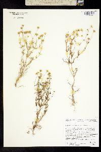 Image of Lasthenia coronaria