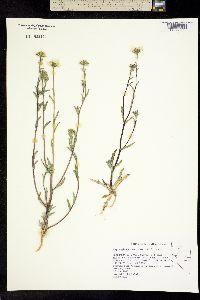 Layia glandulosa image
