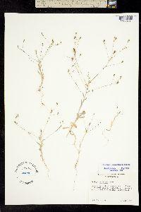 Image of Lessingia nemaclada
