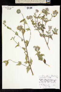 Image of Lagascea decipiens