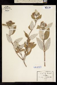 Image of Lagascea heteropappus