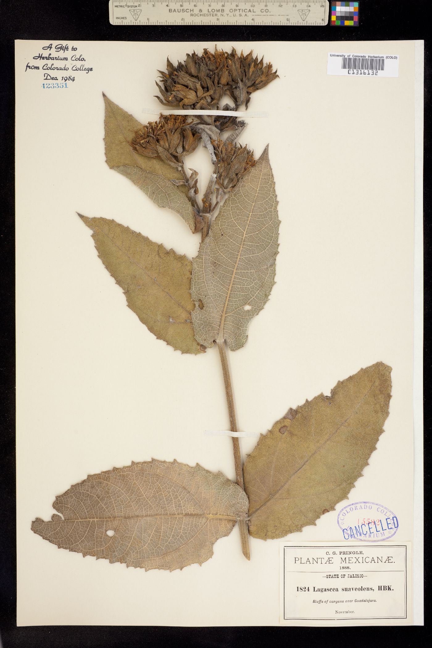 Lagascea helianthifolia var. helianthifolia image