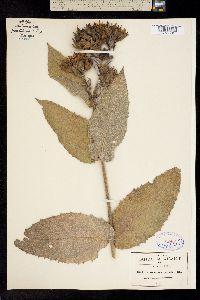Lagascea helianthifolia image