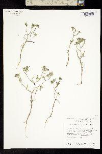 Image of Lagophylla minor