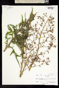 Image of Lactuca hirsuta
