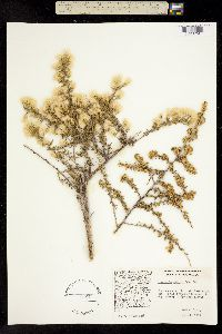 Baccharis pteronioides image