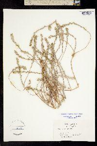 Image of Lessingia virgata
