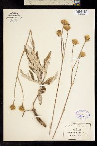 Image of Sinclairia palmeri