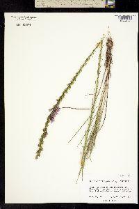 Image of Liatris acidota