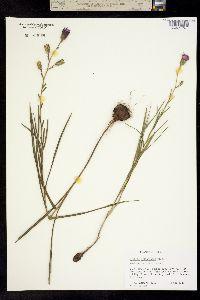 Image of Liatris cylindracea