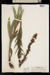 Image of Liatris lancifolia