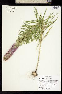 Image of Liatris glandulosa