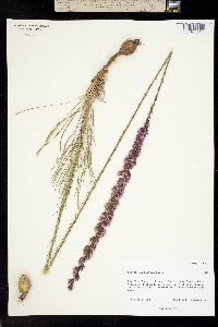 Image of Liatris tenuifolia