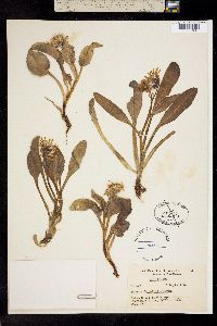 Image of Ligularia websteri