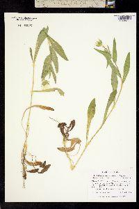 Image of Lindheimera texana