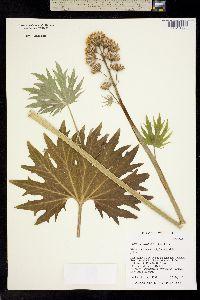 Image of Cacaliopsis nardosmia
