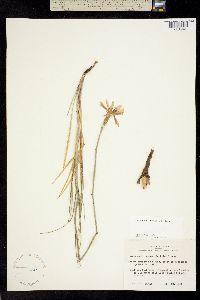 Image of Lygodesmia texana
