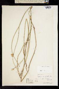 Image of Lygodesmia aphylla