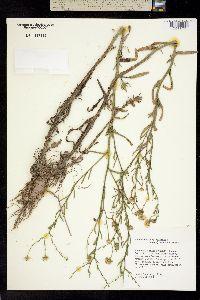 Image of Machaeranthera boltoniae