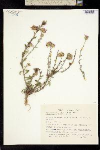 Image of Machaeranthera gymnocephala