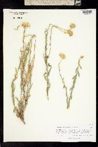 Image of Machaeranthera gypsophila