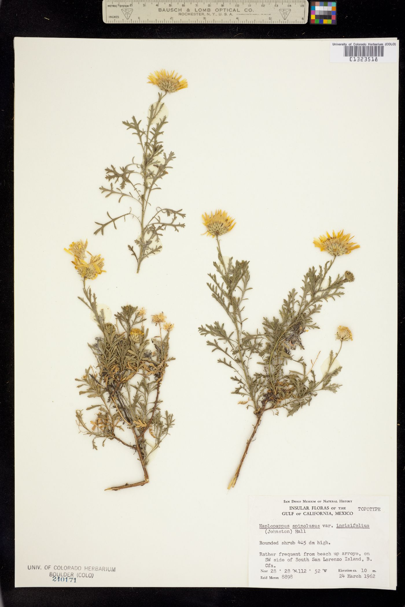 Machaeranthera incisifolia image