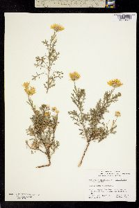 Image of Machaeranthera incisifolia