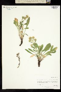 Image of Machaeranthera kingii
