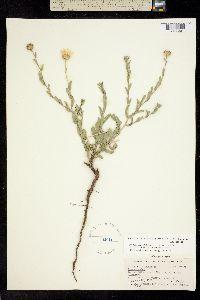 Image of Machaeranthera blephariphylla