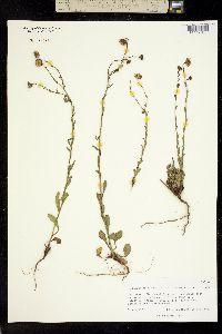 Image of Machaeranthera tenuis