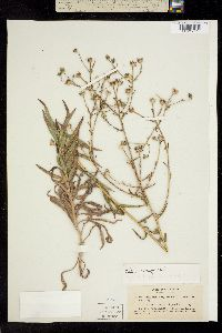 Image of Madia elegans