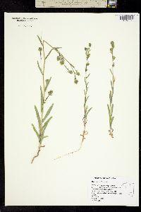Madia gracilis image