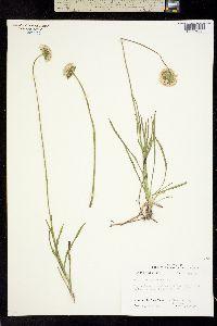 Image of Marshallia caespitosa