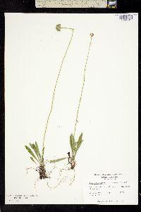 Image of Marshallia obovata