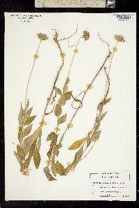 Image of Marshallia trinervia
