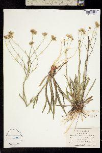 Image of Marshallia ramosa