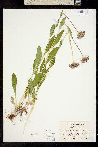 Image of Marshallia grandiflora