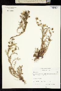 Image of Matricaria maritima