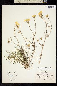 Malacothrix glabrata image