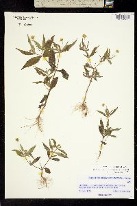Melampodium appendiculatum image