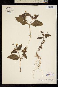 Image of Melampodium divaricatum