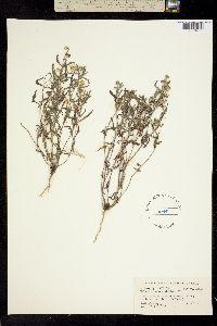 Image of Melampodium cinereum