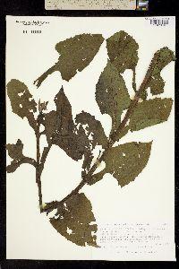 Image of Melampodium perfoliatum